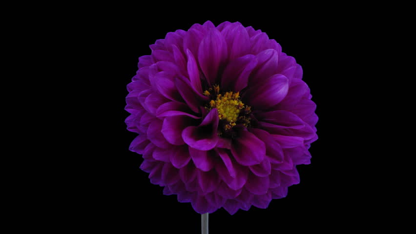 Time-lapse of blooming purple dahlia flower in RGB + ALPHA matte format isolated on black background