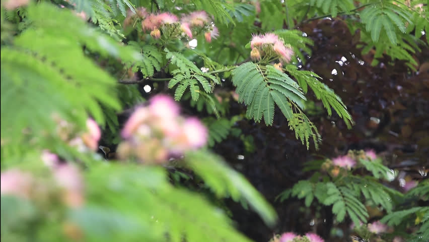 Header of Albizia