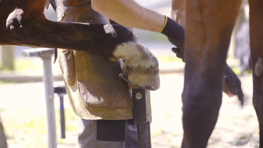 Farrier rasping horse hooves with shoe 4K. Long shot of horse hooves in focus while person removing edges of nails through horse hooves. Bright background out of focus.