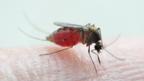Macro of mosquito (Aedes aegypti) sucking blood close up on the human skin. Mosquito is carrier of Malaria, Encephalitis, Dengue and Zika virus,  isolated on white background