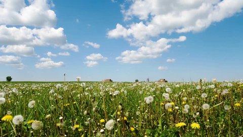 Dandelions in the field swing in the wind. Field of dandelions, summer day.