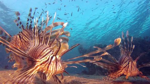 Underwater Lionfish. Picture of beautiful coral reef common-lionfish (Pterois miles) and colorful soft coral in the tropical reef of the Red Sea, Dahab, Egypt.