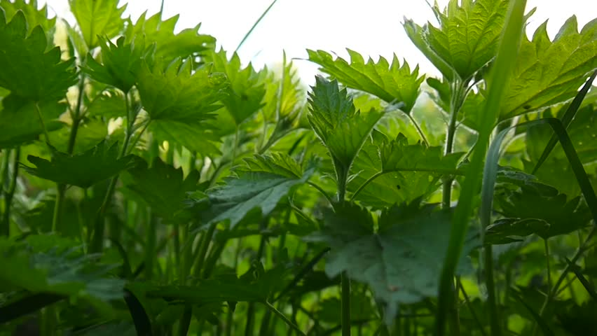 Fresh green nettle in spring wind breeze. Urtica dioica. Bottom view from the ground. Video footage static camera.