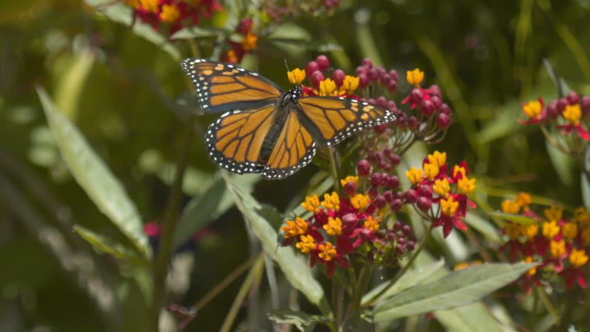 Monarch Butterfly On Milkweed Slow Motion Take off 1500fps