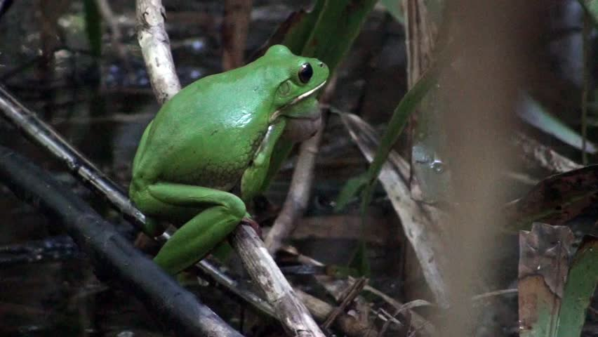 White lip tree frog calling in the swamps of Australia.