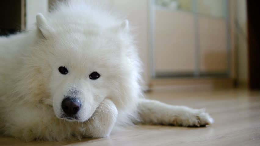 Funny White Dog Looking At Camera Pet Companion Dog In Leash - Dogs looking funny with toys