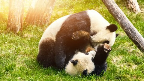 Panda bear playing with baby panda. Animal background, Full HD, 1080p