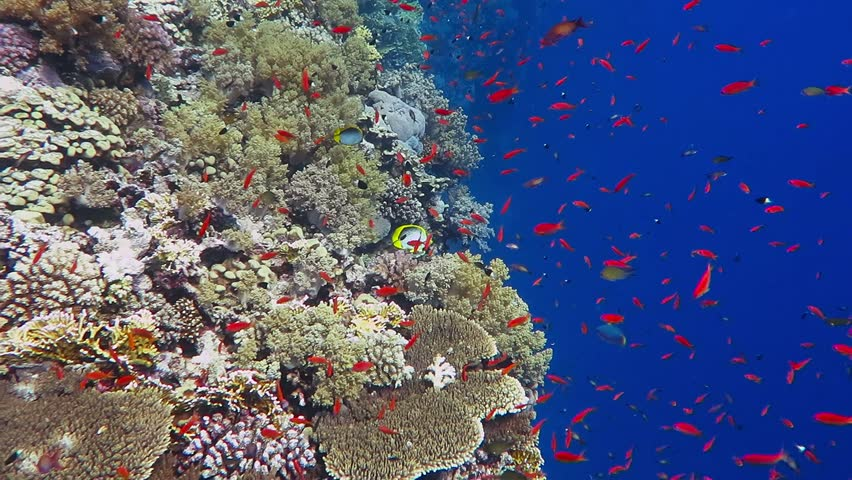 Colorful exotic underwater tropical coral reef with deep blue water. School of color swimming fish. Adventure ocean scuba dive on the reef with aquatic life. Red fish swimming in the blue water.
