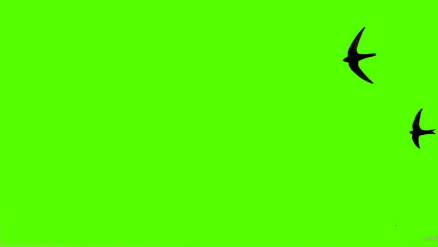Close-up of a bird flying on a green screen. #28055515