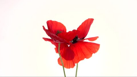 Red poppy blooming in time-lapse on a white background.  Two red poppies blossom and move beautifully, fold in the heart. High speed camera shot. Full HD 1080p. Timelapse