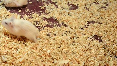 Hamster Jumping back flip