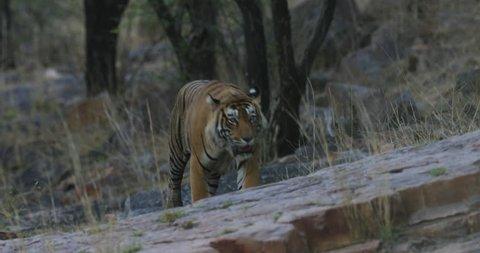 Tiger walking in the rock,Tigers in nature habitat. Wildlife scene with danger animal. Hot summer in  India. Indian tiger, Panthera tigris.