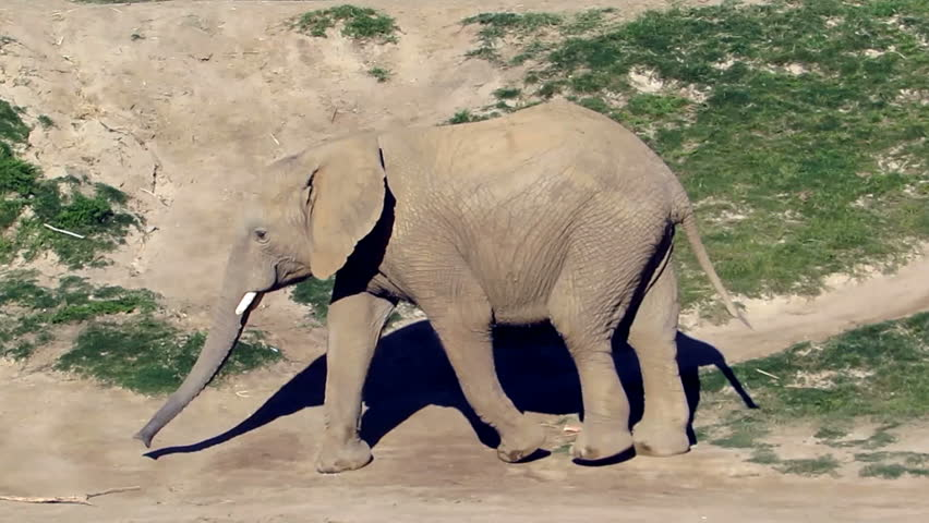 Header of African elephant