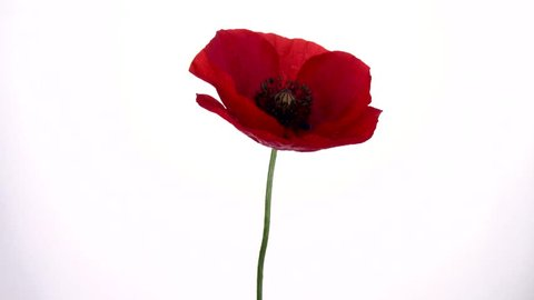 Red poppy flower blooming in time-lapse on a white background. Time lapse. High speed camera shot. Full HD 1080p. Timelapse