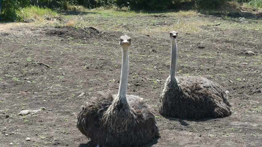Two ostriches sit on the ground, one gets up and runs away. Common ostrich (Struthio camelus)