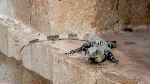Iguana on Mayan ruins in Uxmal, Mexico