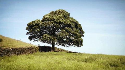 Beautiful Oak Tree Landscape stock footage. Single Oak tree situated on a Yorkshire Moor, England.