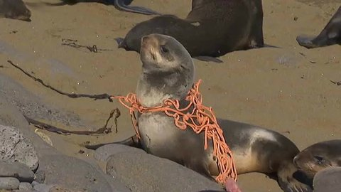 USA 2010s: A sea lion is caught in a fishing net marine debris on a beach.