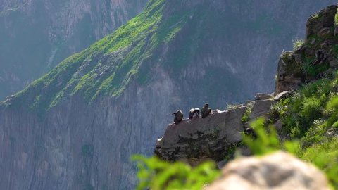 Colca Canyon Condor, Arequipa Peru