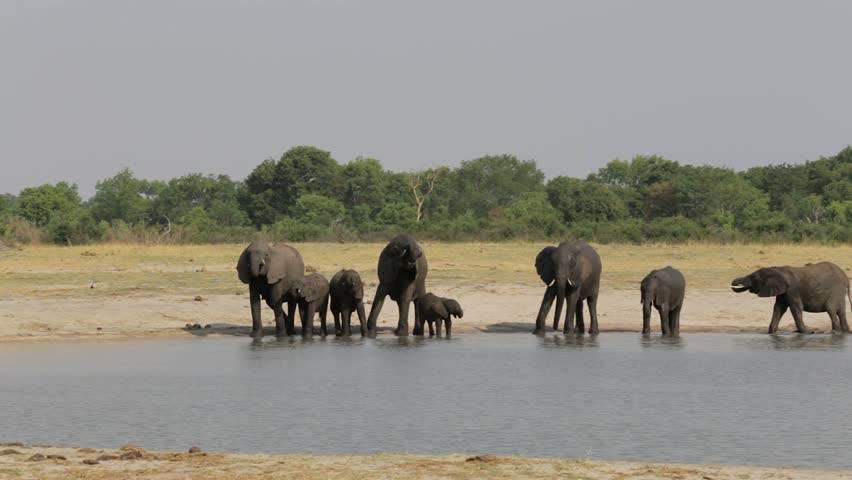 Different groups of elephants at waterhole, Hwange Zimbabwe, Africa safari wildlife and wilderness