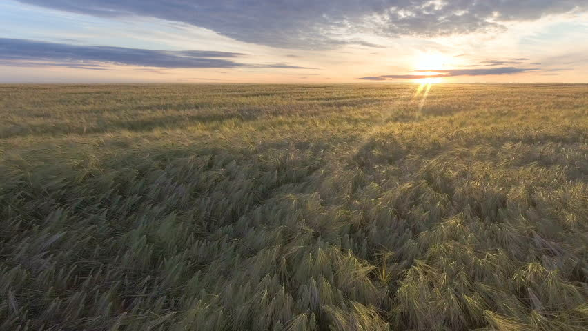 Flying over golden wheat field at beautiful summer sunset. Yellow wheat swaying in light breeze