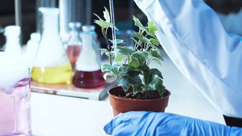 Scientist doing experiments on a potted plant in a chemical laboratory pipetting a solution onto the top leaves in a close up view of his hands with lab glassware visible behind.