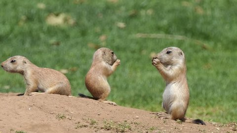 Yellow ground squirrel (Spermophilus fulvus) is large and sturdy species with naked soles on hind feet. It is found in Afghanistan, China, Iran, Kazakhstan, Turkmenistan, Uzbekistan and Russia.