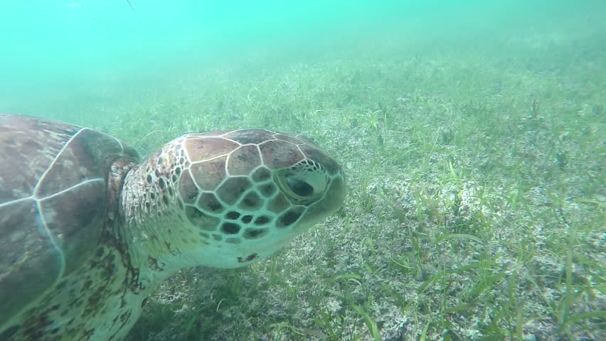 UNDERWATER SLOW MOTION CLOSE UP Green sea turtle swimming in clear ocean lagoon, feeding on seagrass. Large sea turtle swimming in shallow water and eating sea grass on the bottom of the sea in Mexico
