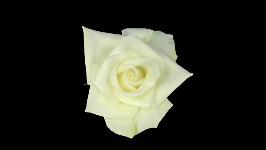 "Time-lapse of opening white ""Bianca"" rose 2c in PNG+ format with alpha transparency channel isolated on black background, top view"