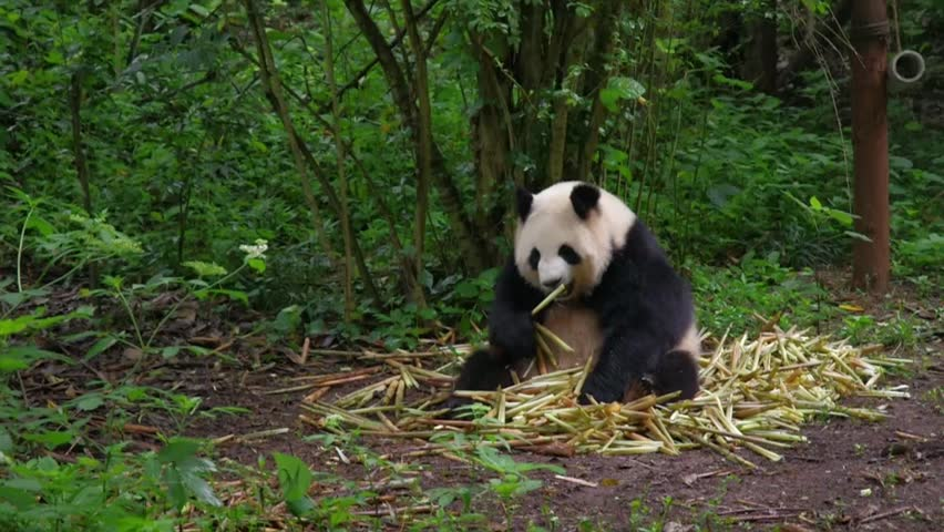 Panda Rest And Eat In Stock Footage Video 100 Royalty