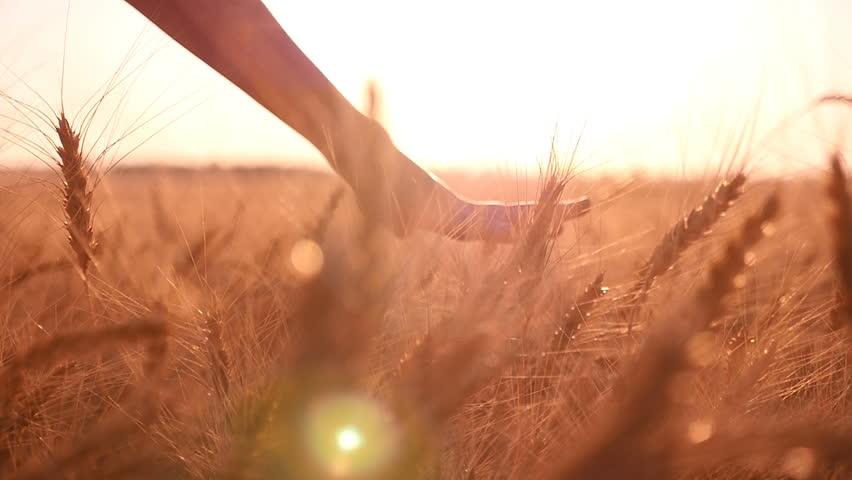 Emotional view of a young woman`s hand, which touches upon the spikes of ripe wheat in summer in slow motion. The closeup shot gets a symbolic and even sacred meaning #28635475