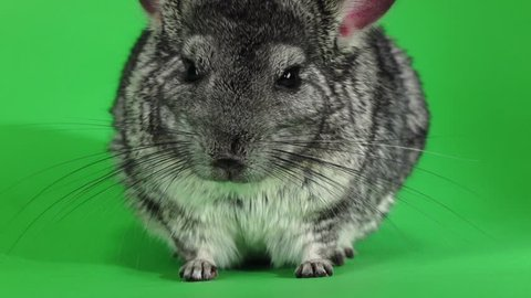 Chinchilla posing on camera on green background. Slow motion, closeup
