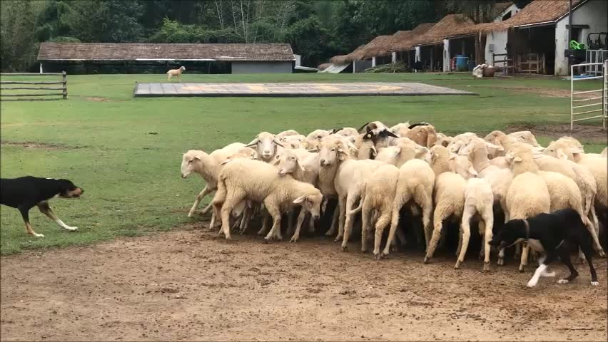 The Powerful Dog. they have to work everyday. they work so hard with a flock of sheep.