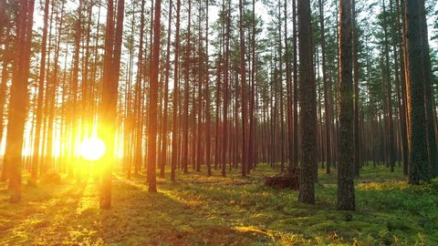 Beautiful nature, pristine forest with long trees trunks, moss, green grass and shining shimmering sunset, forward motion view