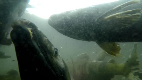 Coho salmon under the water. Spawning of salmon.