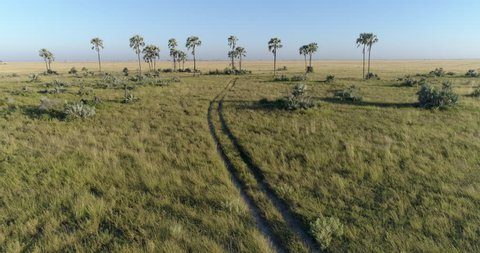 Fly over aerial view of vehicle track going into the savanna grasslands and palm trees of the Okavango Delta