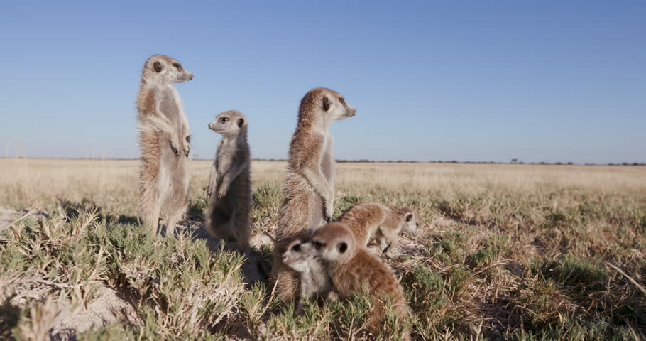 Funny animals.Meerkat standing up on sentry duty while others play,Botswana #28864705