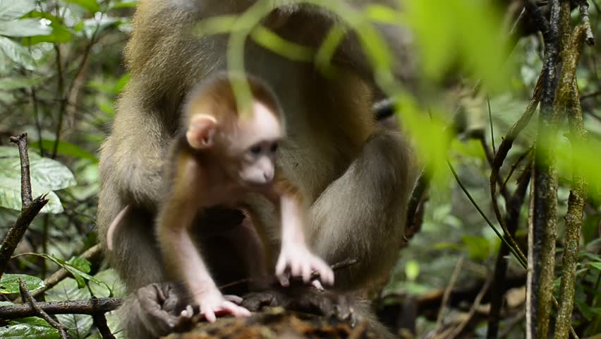 Life of the Assam Assassin, Life of the Macaca assamensis, Life of a Monkey