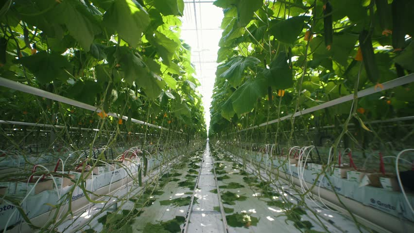Light industrial greenhouse with even rows of plants inside. Modern farming: growing cucumbers in an automated greenhouse. Industrial vegetable production: modern eco-production with drip irrigation