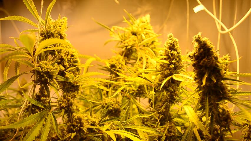 Header of marihuana
