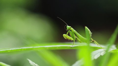 Young European Mantis or Praying Mantis, Mantis religiosa, on leaf