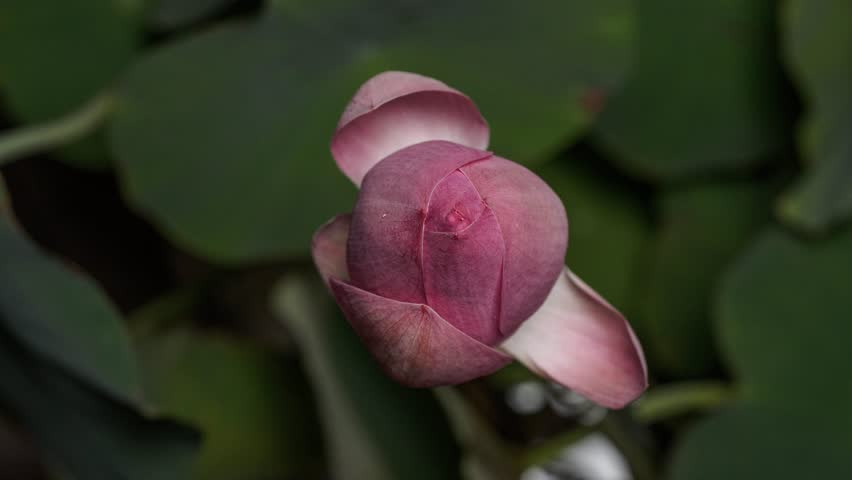 Time lapse opening of a pink lotus flower, from bud to full open, 4K version.