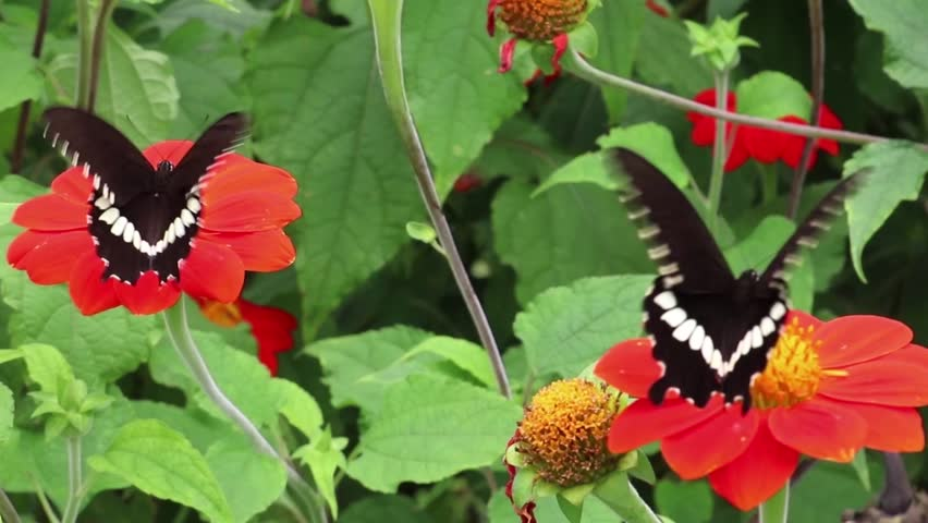 Butterfly drinking the sweet liquid and take off from the flower