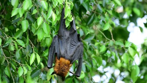 Flying Fox hanging on swinging branch in windy siutation, big fruit bat in nature
