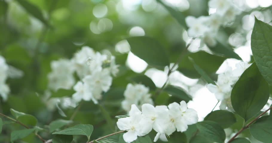 pan shot of white jasmine flowers in summmer day