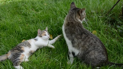 two cats playing on farm garden summer grass. Kitten and adult cat wrestle on farm.