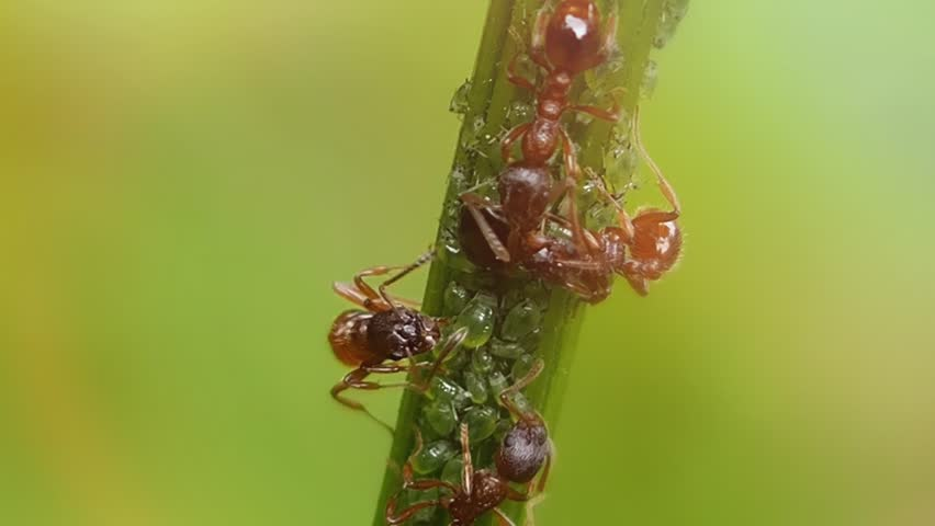 Ant farm is located on stem of the flower. Insects and their family are complex social groups with division of labor and developed systems of communication and self-organization.