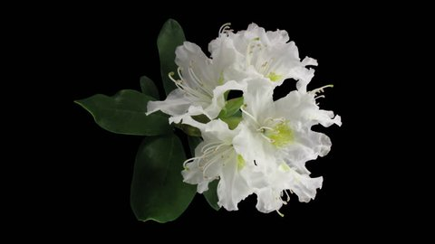 Time-lapse of opening white rhododendron (Ericacea family) 3a3 in RGB + ALPHA matte format isolated on black background, top view