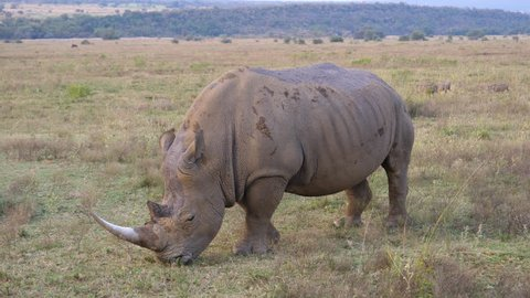 White rhino eating grass with a big group warthogs passing by in the background at Waterberg South Africa