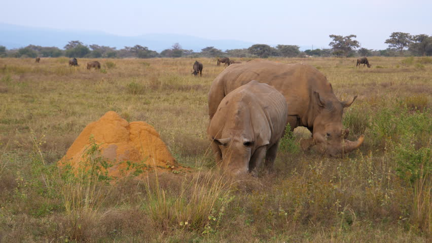 Two white rhinos eating grass with a group wildebeest in the background at Waterberg South Africa